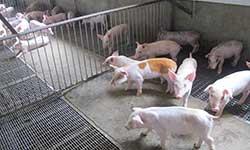 契作牧場 優質豬隻